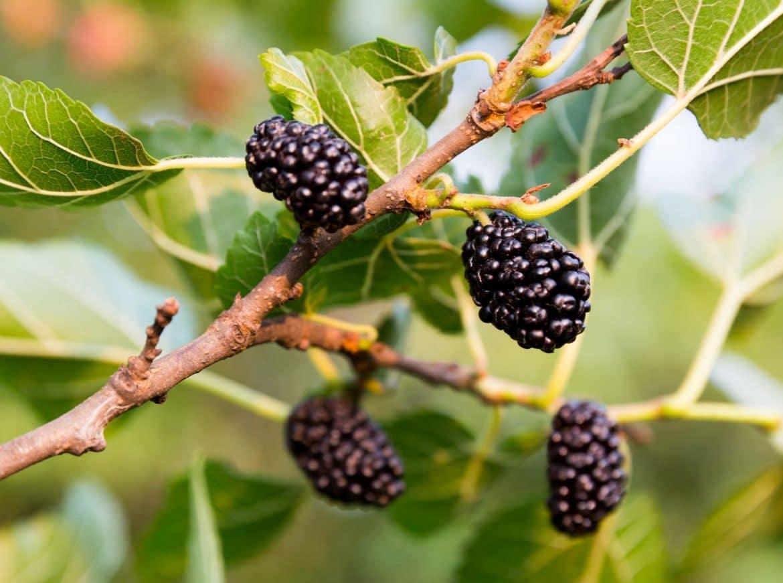 Mulleberries sur leur arbuste