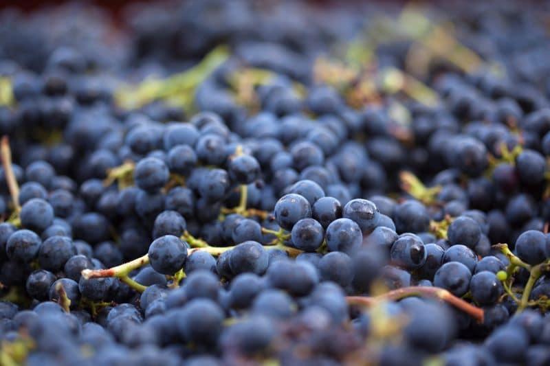 Grappes de raisins noir frais